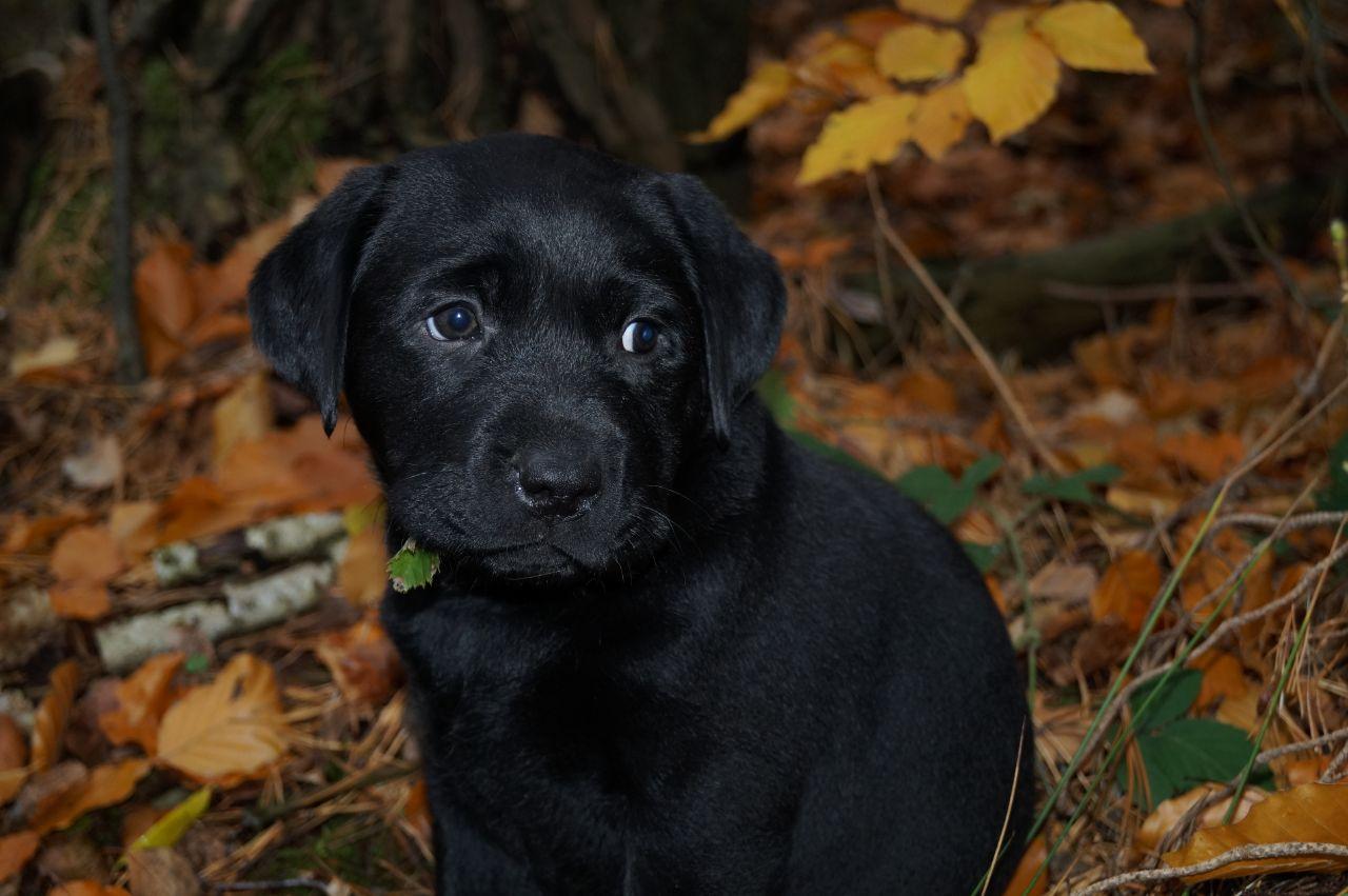 Willkommen Labradorzucht Von Konigstor